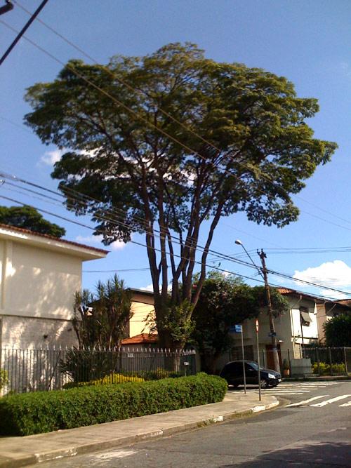 arvore-itacira-guainumbis